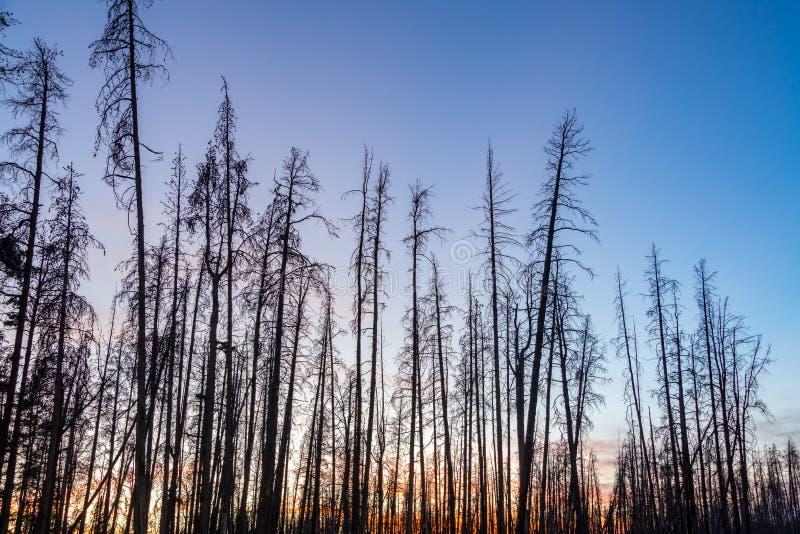 死的红松树 库存照片
