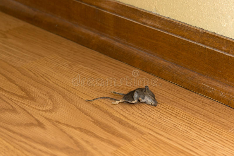 死的老鼠啮齿目动物在议院或家,寄生虫里 图库摄影
