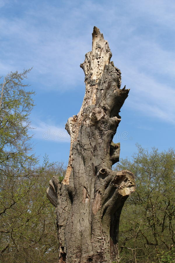 死的腐朽的树 库存照片