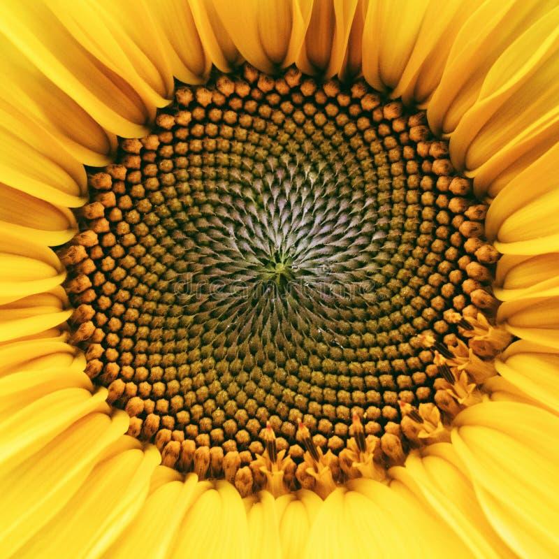 的花的核心,纹理 接近的域匈牙利向日葵 种子和油 平的位置,顶视图 宏指令 库存照片