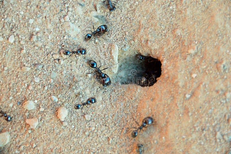 的蚂蚁 免版税库存照片