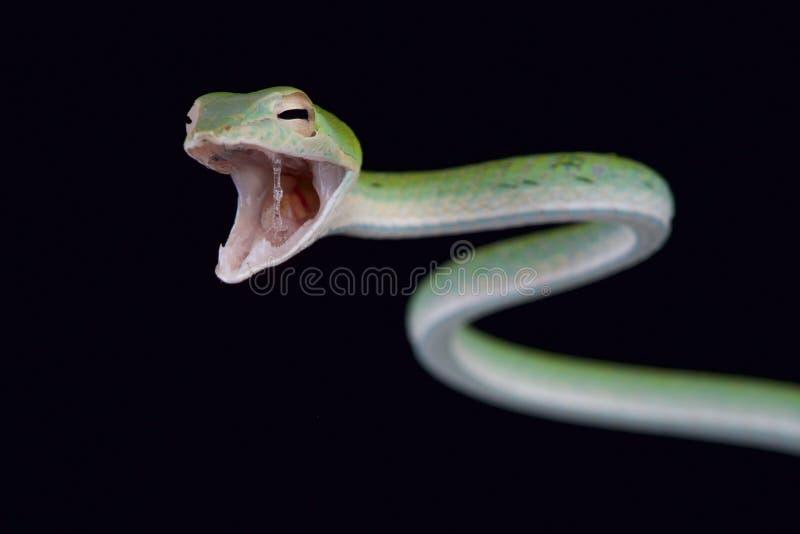 攻击的蛇/Ahaetulla nasuta 免版税图库摄影