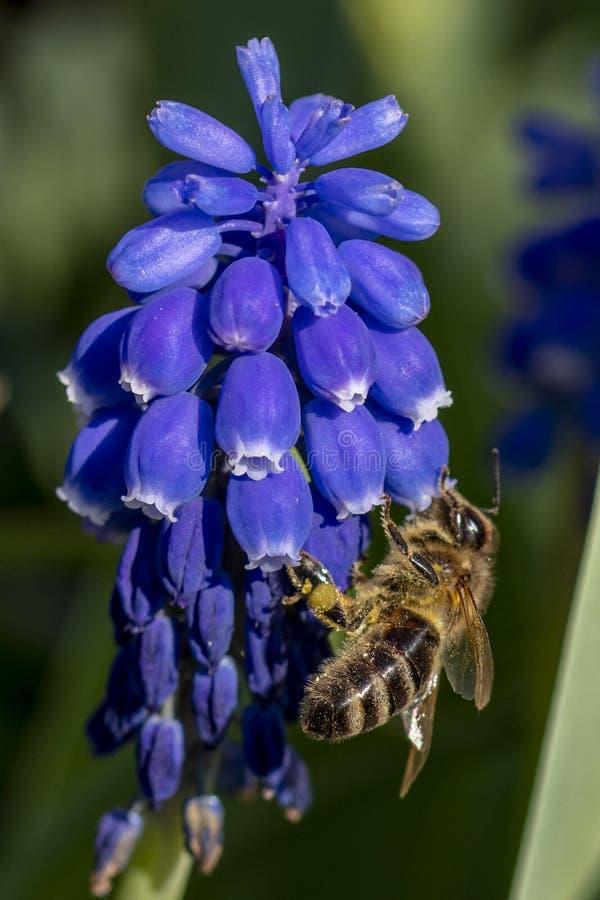 的蜂一朵紫色花 免版税库存照片