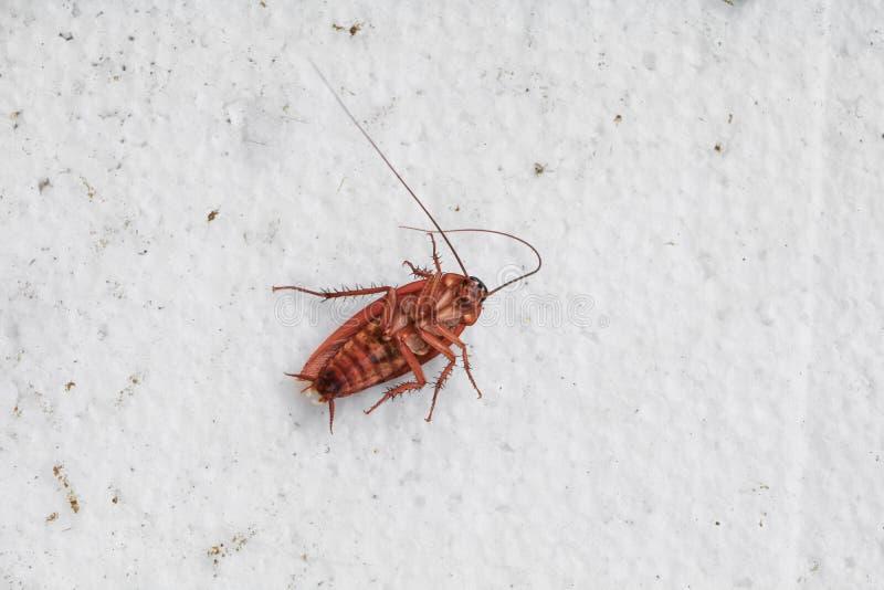 死的蟑螂倾斜顶视图 免版税库存照片
