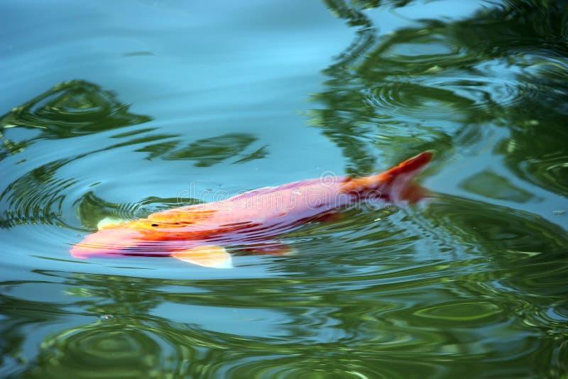 水的表面上的鱼 免版税库存图片