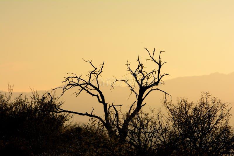 死的豆科灌木树剪影在日落的沙漠 图库摄影