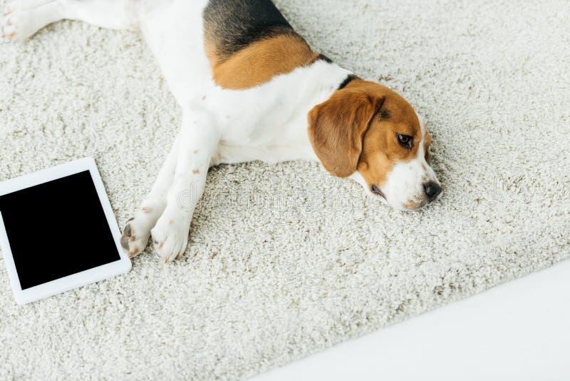的逗人喜爱的小猎犬说谎在有片剂的地毯的大角度观点 免版税库存照片