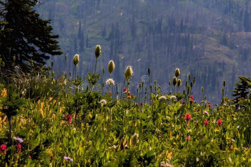 去的银莲花属播种和油漆刷 库存照片