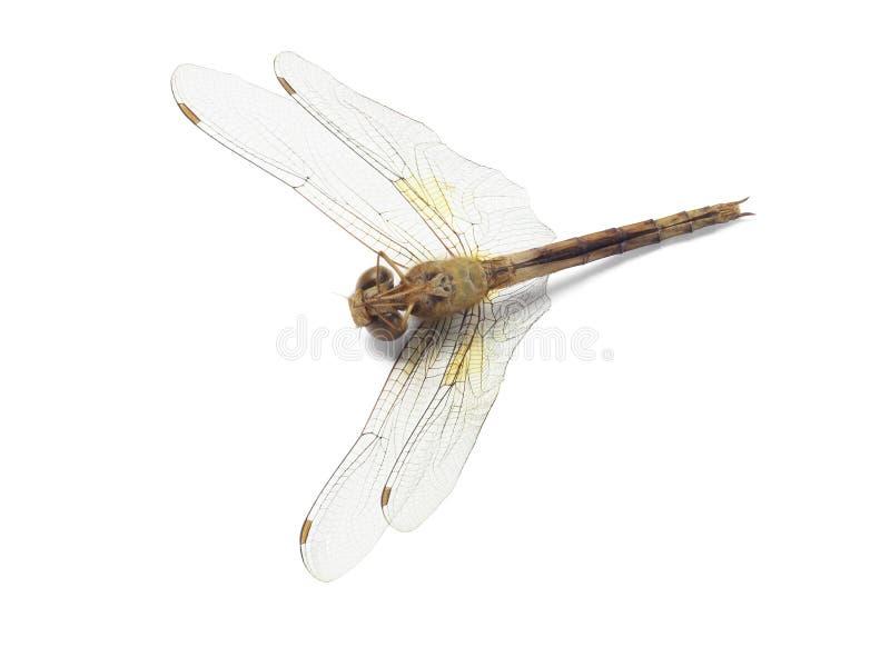 死的蜻蜓 免版税图库摄影