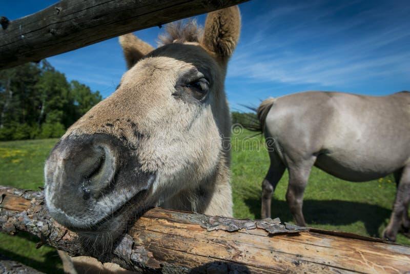 的Konik养殖在波兰的野马 免版税库存照片