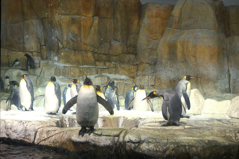 皇企鹅-家庭甜洞 免版税库存照片