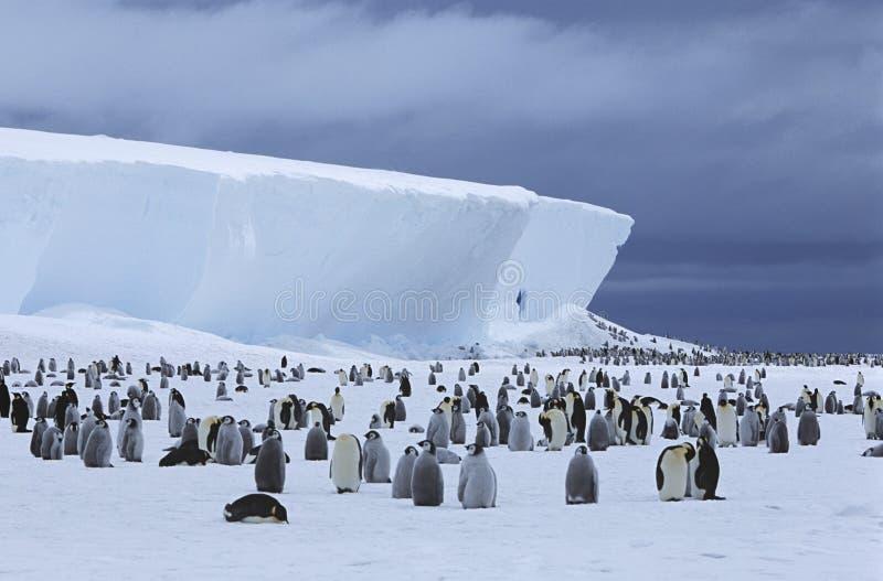 皇企鹅(Aptenodytes forsteri)殖民地和冰山 库存照片