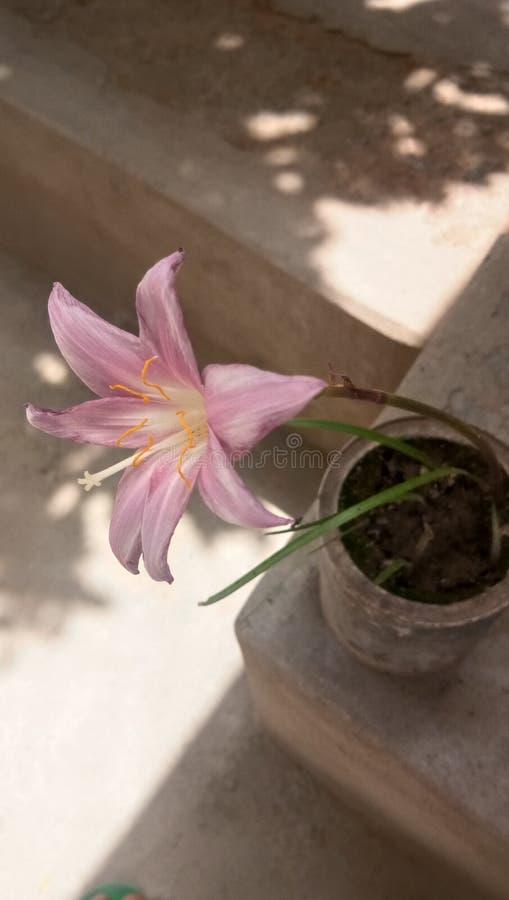 皇家唯一白色美丽的花 免版税图库摄影