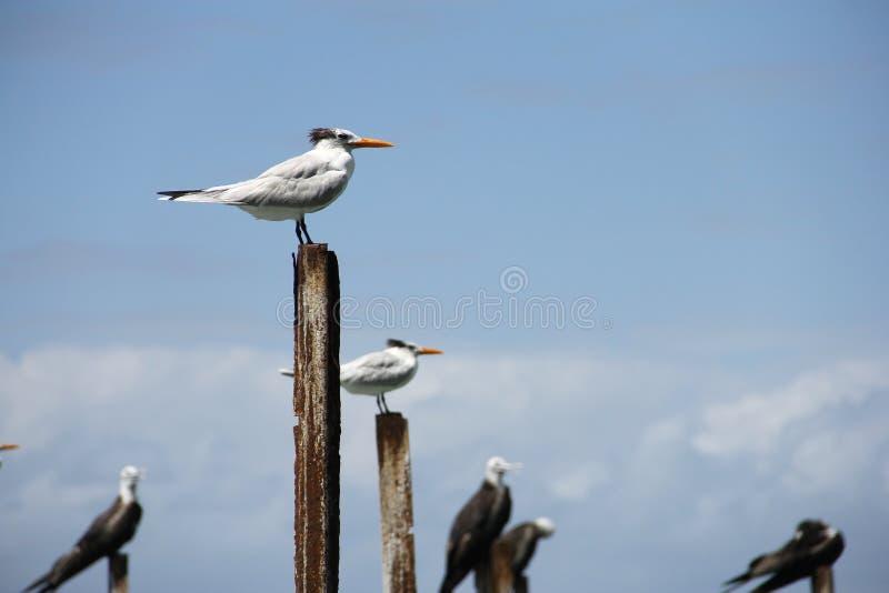 皇家燕鸥Thalasseus maximus,哥斯达黎加, Cahuita国家公园 免版税库存照片