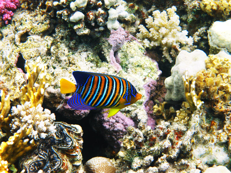 皇家神仙鱼的珊瑚礁 免版税库存图片
