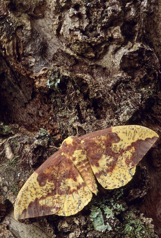 皇家飞蛾(Eacles imperialis) 库存照片