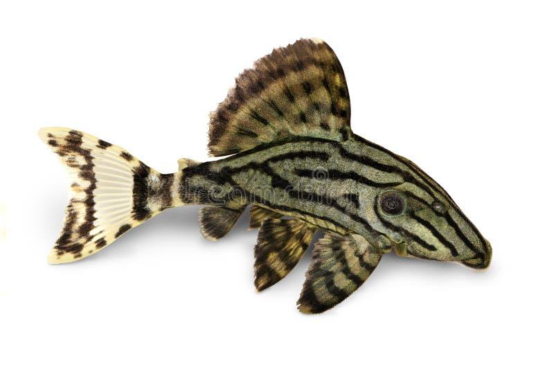 皇家Pleco Panaque nigrolineatus或者皇家plec水族馆鱼 免版税库存图片