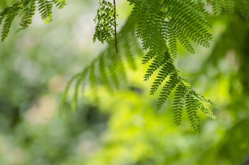 皇家Poinciana或Delonix Regia绿色叶子 库存照片