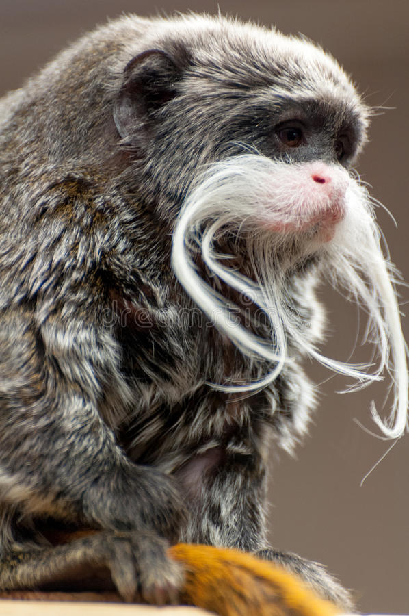 皇帝绢毛猴关闭画象 库存图片