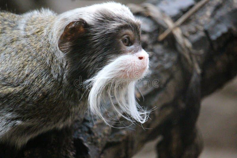 皇帝imperator拉丁命名saguinus绢毛猴 库存图片