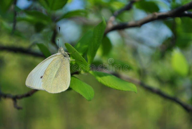 皮利斯brassicae,大白色蝴蝶сabbage蝴蝶,粉蝶,圆白菜飞蛾坐绿色叶子,关闭  库存图片
