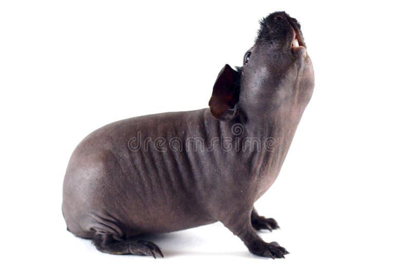 皮包骨头猪舒展 图库摄影