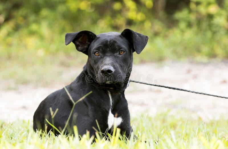 皮包骨头的黑实验室Pitbull混合品种狗收养照片 库存图片