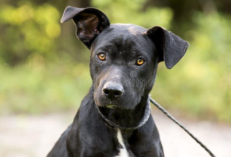 皮包骨头的黑实验室Pitbull混合品种狗收养照片 免版税库存照片