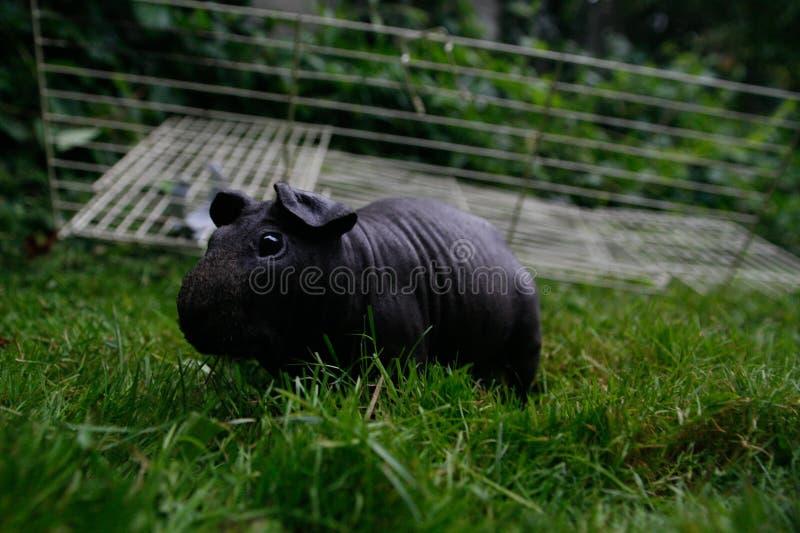 黑皮包骨头的猪 免版税库存照片