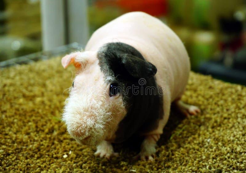 皮包骨头的试验品,无毛的豚鼠 免版税库存图片