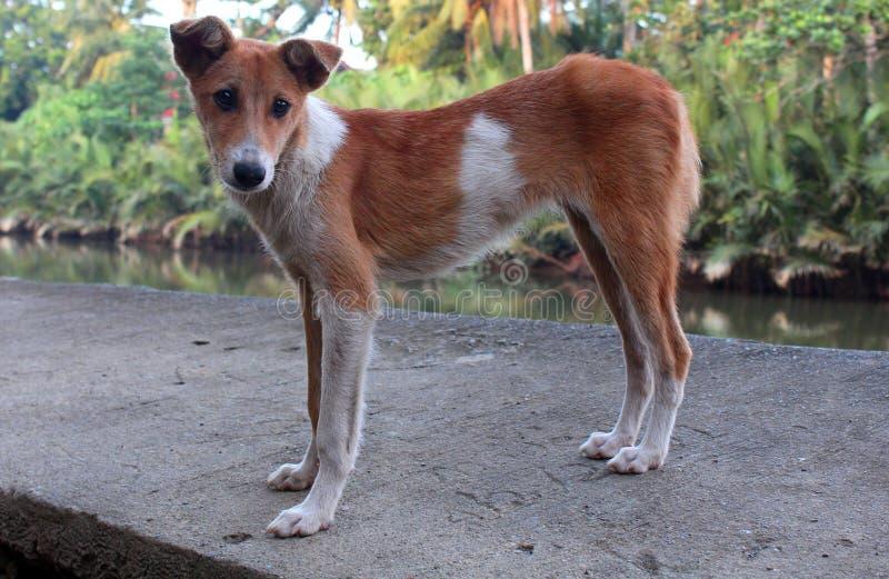 皮包骨头的逗人喜爱的小狗 免版税图库摄影