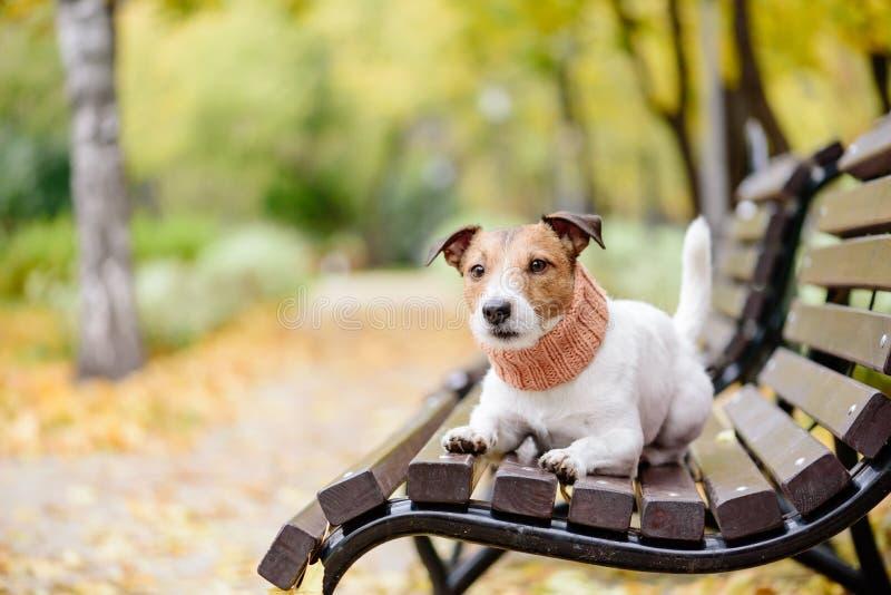 皮带的家养的纯血统爱犬在秋天秋天公园的长凳 免版税库存图片