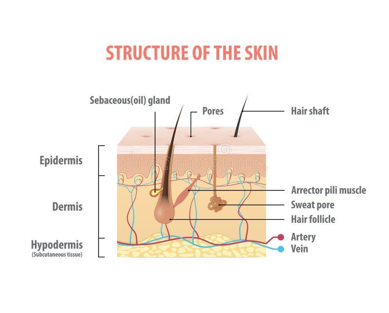 皮肤信息图表例证传染媒介的结构在白色的 向量例证