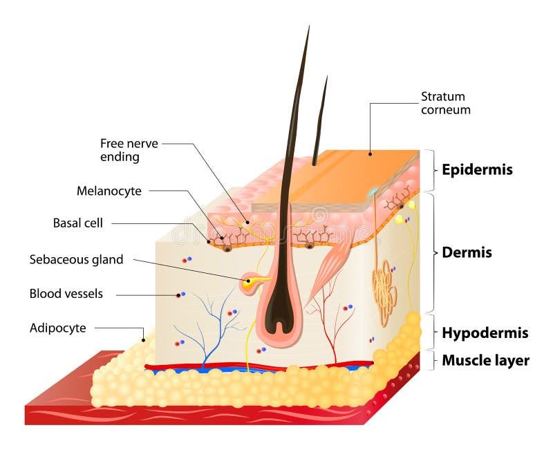 皮肤层数 向量例证