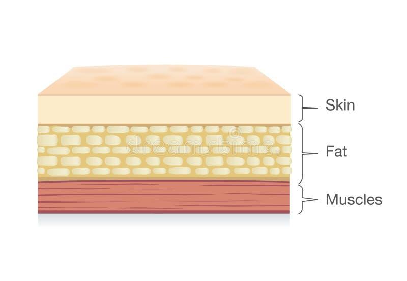 皮肤层解剖学,脂肪细胞和肌肉在传染媒介样式分层堆积 皇族释放例证