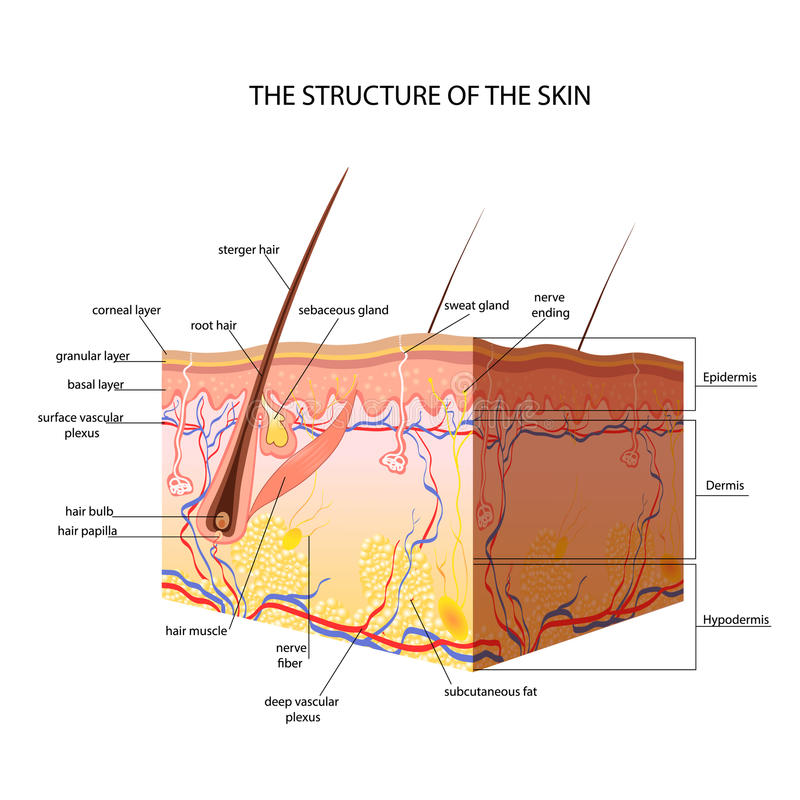 皮肤的解剖结构 库存例证