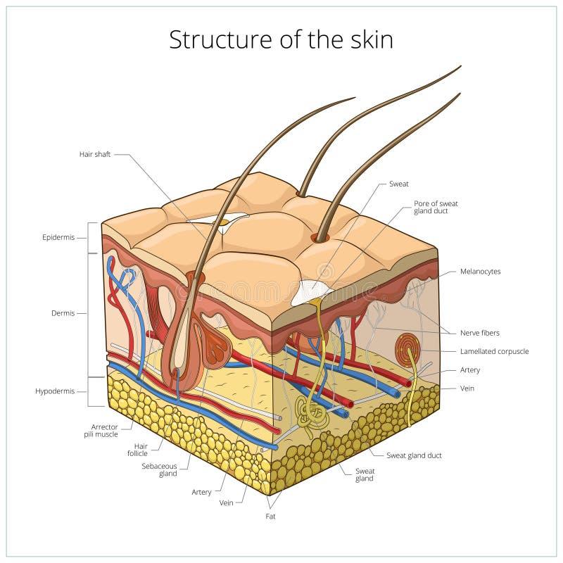 皮肤结构传染媒介例证 皇族释放例证