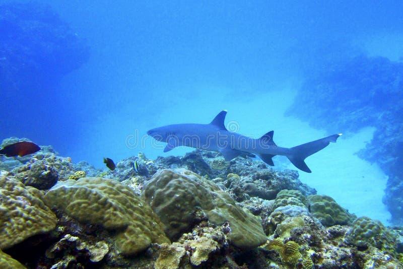 滑皮鲨鱼类obesus 免版税库存照片
