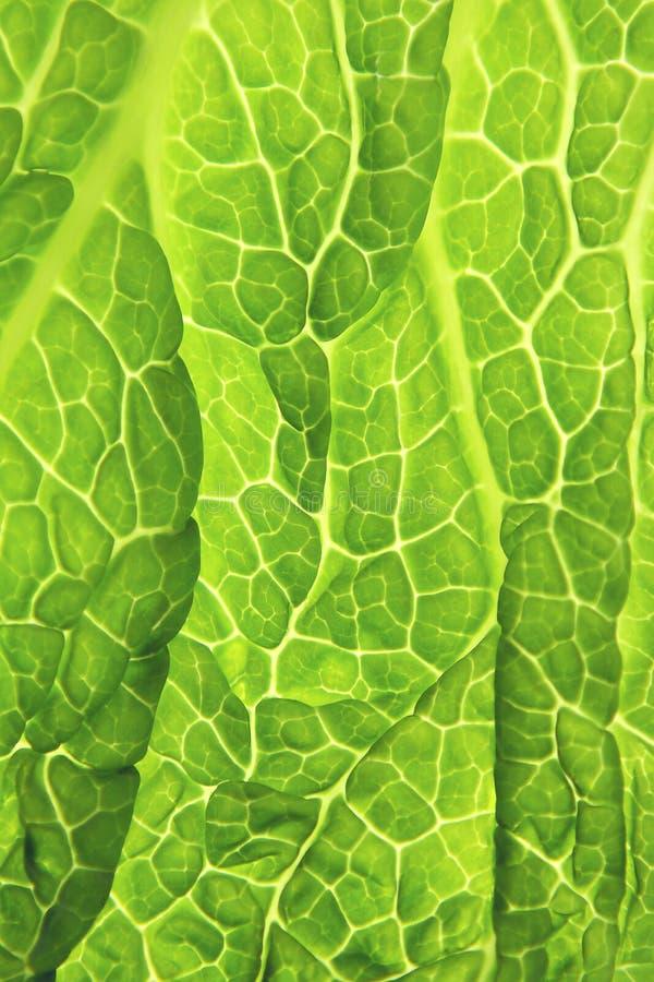 皱叶甘蓝新鲜的绿色叶子 免版税库存照片