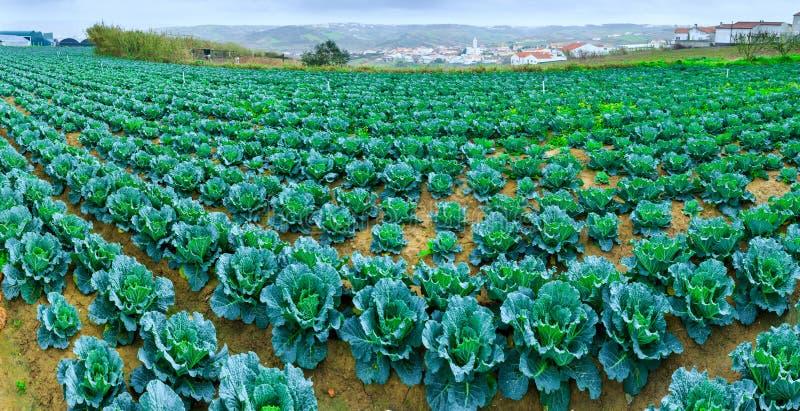 皱叶甘蓝生长植物在行红色土壤的在农田 库存照片