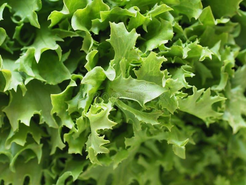 皱叶莴苣(亦称frisee)沙拉离开背景 免版税图库摄影