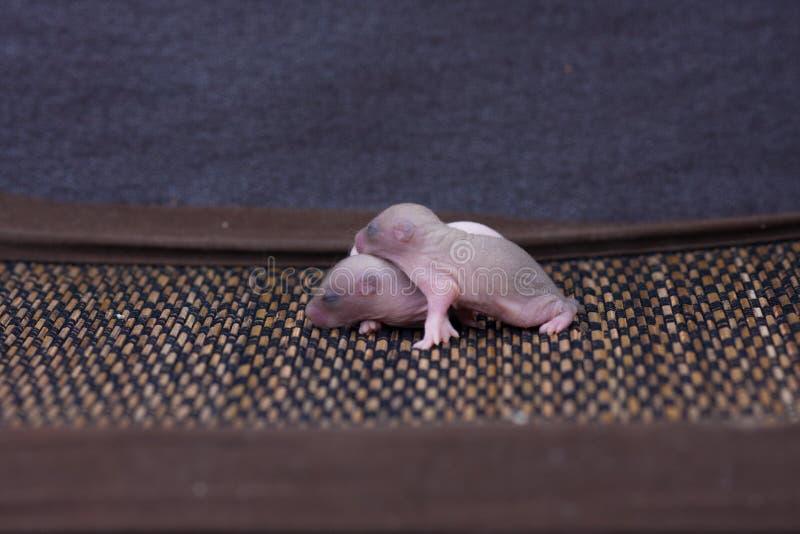 皱痕的概念 新生儿鼠睡觉 免版税库存照片