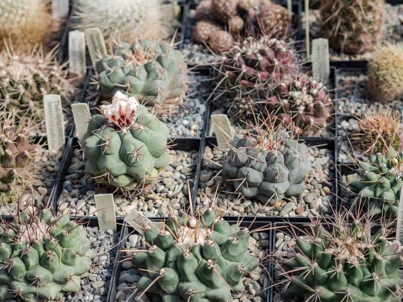 盆底背景中大荆棘的小仙人掌 自然背景仙人掌或多汁植物 库存图片