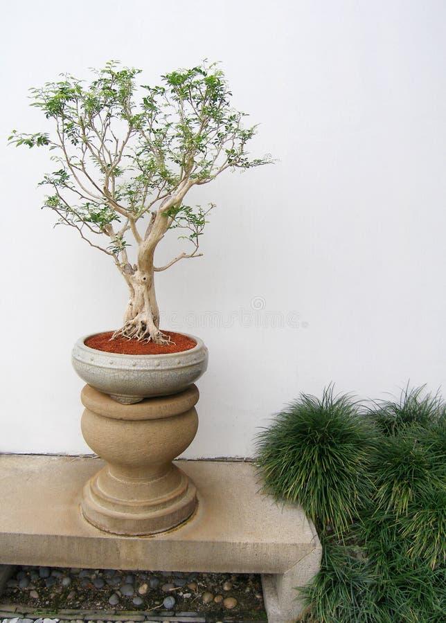 盆景中国盆的结构树 库存图片