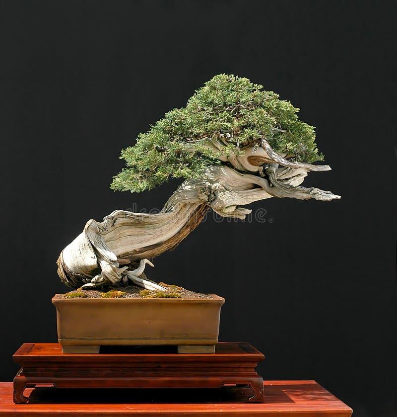 盆景岩石杜松的山 免版税库存图片