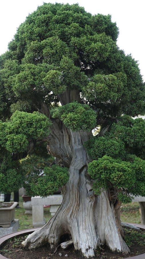 盆景杉木 免版税库存照片