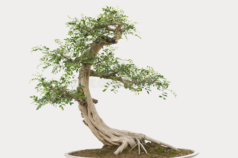 盆景杉树 库存图片