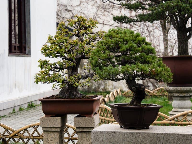 盆景树在古典中国庭院里 库存图片