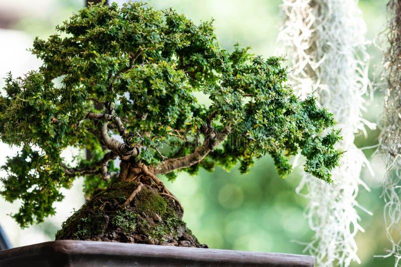 盆景树在庭院里 免版税库存图片