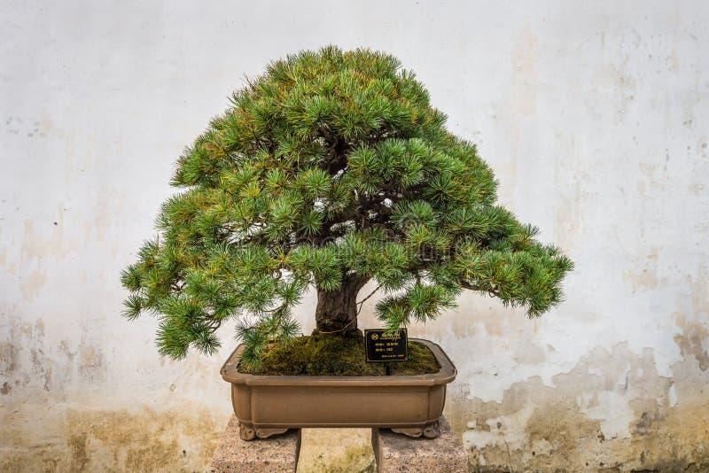 盆景树在拙政园在苏州 免版税库存照片